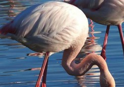 prov_flamingi
