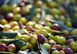 prov_olive